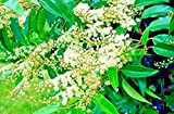Portal Cool 20 Portugiesische Lorbeerkirsche Seeds - Prunus Lusitanica
