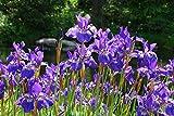 Portal Cool Keine: Iris Sibirica (sibirischen Flag) - Marginal Teichpflanzen - Teichpflanzen - Water Plan