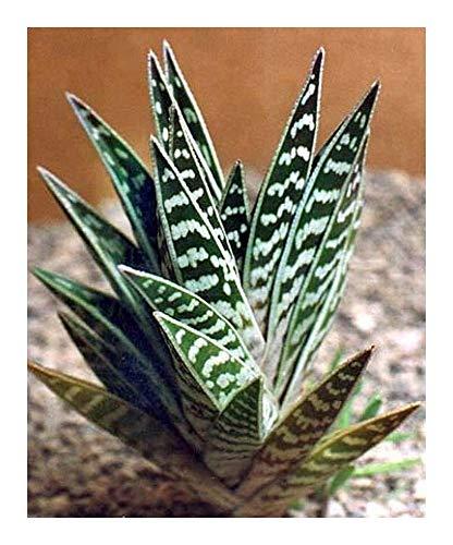 Aloe variegata - tigre aloe - 5 graines