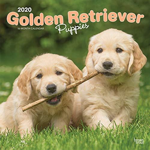 Golden Retriever Puppies - Golden Retriever-Welpen 2020 - 16-Monatskalender mit freier DogDays-App: Original BrownTrout-Kalender [Mehrsprachig] [Kalender] (Wall-Kalender) -