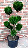 2 Stück Gartenbonsai, Höhe: 110-120 cm, Bonsai, Chamaecyparis lawsoniana Ellwoodii, Scheinzypresse, Kegelzypresse + Dünger
