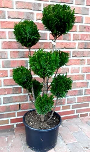 Gartenbonsai, Höhe: 100-110 cm, Bonsai, Chamaecyparis lawsoniana Ellwoodii, Scheinzypresse, Kegelzypresse + Dünger