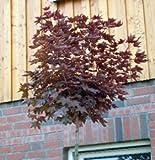 Spitzahorn Crimson Sentry ? Acer platanoides Crimson Sentry Kugelbaum Stammhöhe 220 cm, Stammumfang 8-10 cm, Container-/Ballenware
