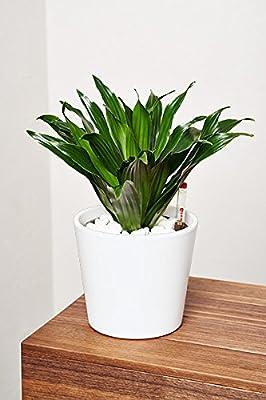EVRGREEN   Zimmerpflanze Drachenbaum in Hydrokultur mit Topf als Set   Dracaena deremensis Janet Craig Compacta von EVRGREEN - Du und dein Garten