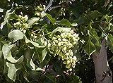 Portal Cool Compre 3 obtener semillas libres de pistachos 2 5 x china Pistacia al aire libre árbol bonsai
