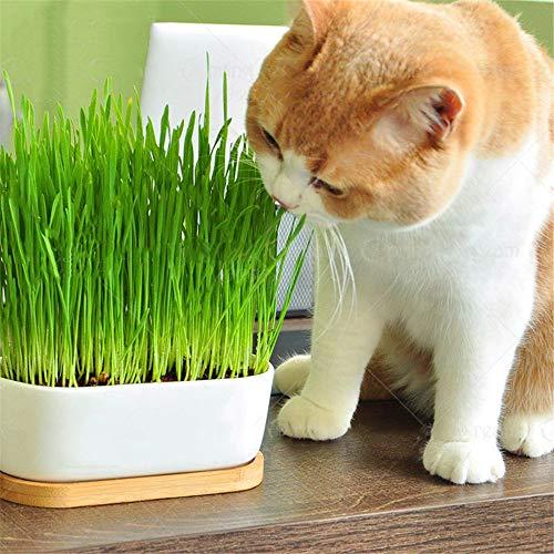 Star Supermarket 100 unids/pack semillas de hierba gato jardín de su casa hermosa planta bonsai semillas de flores maceta interior semillas de plantas