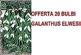 OFFERTA 20 BULBI AUTUNNALI GALANTHUS ELWESII BULBS BULBES