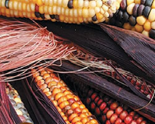 Hungarian sweet corn, Seneca Red Stalker, good for Barbecue 10 graines, NON GMO !