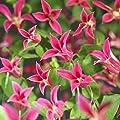 Clematis Princess Diana von Meingartenshop bei Du und dein Garten