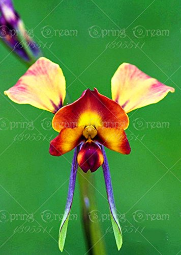 Galleria fotografica 2016 nuovi 200pcs / bag rare orchidee, semi di orchidee, rari semi pianta di orchidea, semi di fiori bonsai, la crescita naturale, di piante per giardino di casa 13