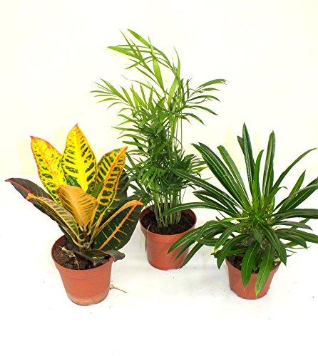 Zimmerpflanzenmix 1 Croton, Bergpalme, Madagaskarpalme Blumenversand