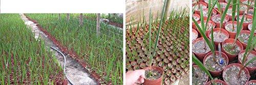 Jubaea chilensis 1 Pflanze ca. 50-70 cm. Frosthart und für Kübelhaltung und Freiland geeignet