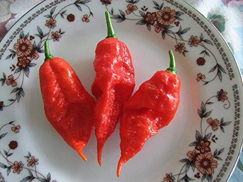 Shoopy Star Graines Pepper Ghost frais (Naga Jolokia, Bhut Jolokia) 28 GRAINES