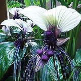 CROSO Keim Seeds Nicht NUR Pflanzen: 10X Lustige Rare Bat Fledermausblume Whiskers Blumensamen Garten Seedss Fy