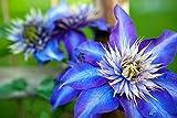 Clematis 'Multi Blue'- Gesamthöhe: 60-70cm Topf: 2 ltr.