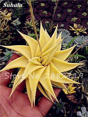50 Pcs Aloe Vera Graines Beauté comestibles cosmétiques colorés Bonsai Cactus Succulentes Plantes Fleurs Légumes Fruits Graines Pour Balcon 12