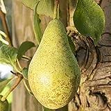Birnen Baum