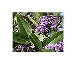 10x Hardenbergia Comptoniana Pianta Rampicante Glicine Violetto B2097