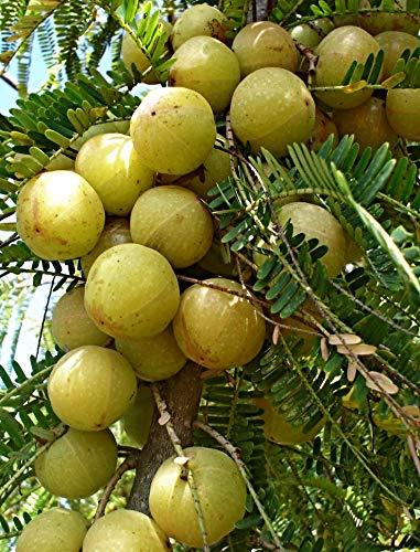 10 Samen Phyllanthus emblica, Amla Baum, indische Stachelbeere, TCM