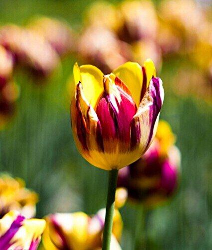 Toutes sortes de bulbes de tulipes belles fleurs de jardin sont appropriés pour les plantes en pot (il n'est pas une graine de tulipe) bulbes 2PC 12
