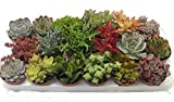 Sukkulenten, Mischung, je im 9cm Topf, Starter Set (6 Pflanzen im Set)