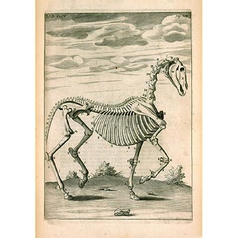 """Scheletro del Regno Unito, stile Vintage, motivo cavallo di anatomia c1683 by Andrew Snape """", formato A3, 250 g/mq, riproduzione"""