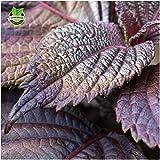 SEEDS PLAT FIRM-1000 Perilla Samen Red Leaf Shiso Gemüsesamen für die Bepflanzung von Topf und Boden Deliciously Fragrant