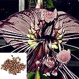 FERRY HOCH KEIMUNG Seeds Nicht NUR Pflanzen: Typ2: 20 / 50PcsGarden Balkon Schöne Bonsai Fledermausblume Bat Utar 01