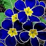 Portal Cool 1 confezione 100 semi di primula blu da sera rari Sundrops Garden Flower S031