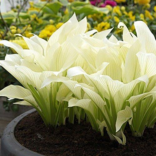 20pcs Hosta plantaginea Samen Fragrant Wegerich Blume Feuer und Eis Shade-weiße Spitze Bonsai-Hausgarten Bodendecker Pflanzensammen (Hosta-samen)