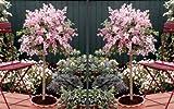 Flieder Palibin® als Stämmchen gezogen. rosa blühend. 2 Pflanzen - zu dem Artikel bekommen Sie gratis ein Paar Handschuhe für die Gartenarbeit dazu