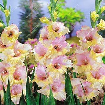 Potseed Echt Gladiolen Zwiebeln, Blumenzwiebeln Rare Schwertlilie Aerobic Topfpflanze Dekoration Garten (Nicht Gladiole Seed) – 2-Birne 4