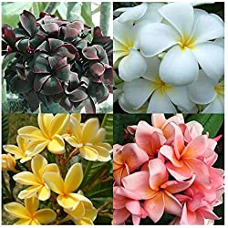 Plumeria rubra mixed colours - Frangipani - Wachsblume - 3 Samen