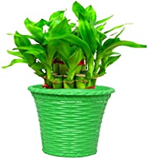 Trust basket Lucky Bamboo with Green Planter