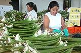 Aloe Vera Premium Bio Direktsaft – Handfiletiert - 6