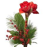 Blumenversand - Blumenstrauß - zu Weihnachten/Advent - eine schöne rote Amaryllis - arrangiert mit Ilexzweig - mit Gratis Grußkarte Deutschlandweit versenden