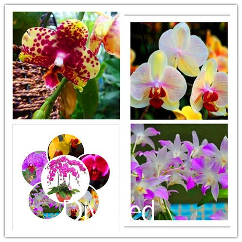 Graines New 50Pcs Mix Couleur Phalaenopsis Fleur Bonsai plantes Papillon Orchid jardin Jardin Décoration, # TSY4F9