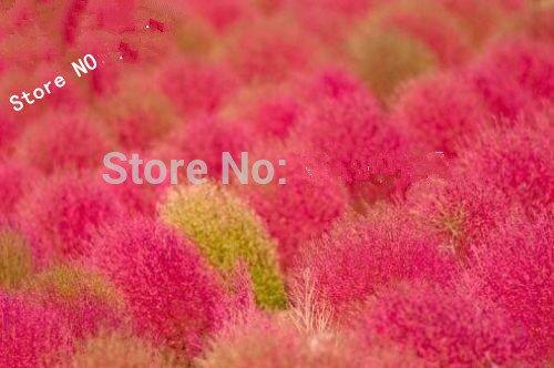 Avoir une grande vitalité Dichondra Repens Graines 100pcs, Mercury Bay Weed Excellente Semences à gazon, largement rein Adaptabilité graines de mauvaises herbes