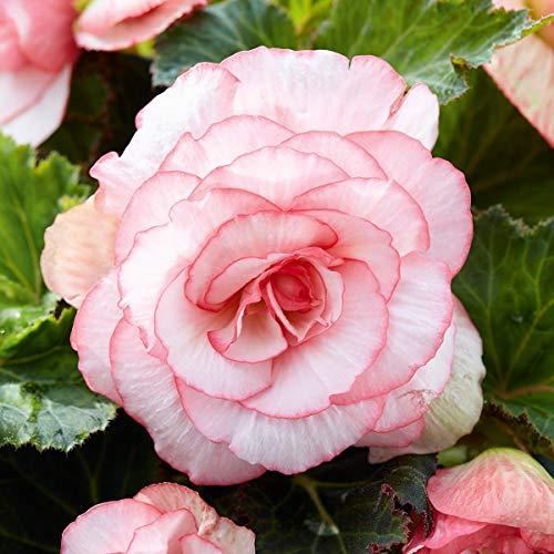 KEBOL Blumenzwiebel Begonie | Hingucker im Beet | zweifarbig | rosa, weiß | 2er Pack