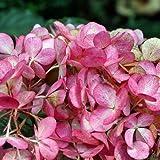 Rispenhortensie 'Wim's Red' - Hydrangea paniculata 'Wim's Red' - Blütengehölz