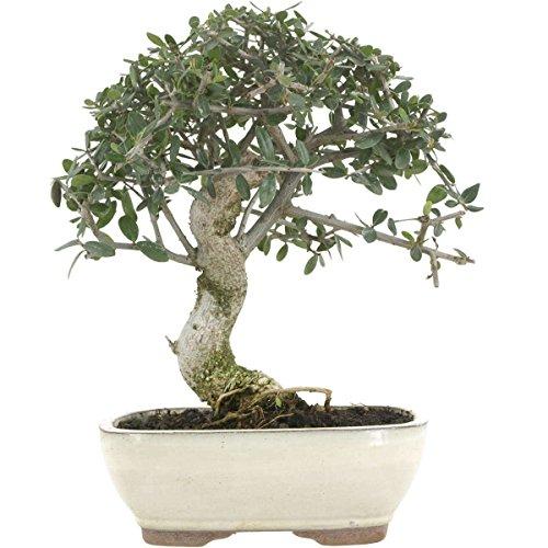 Olive, Bonsai, 12 Jahre, 30cm