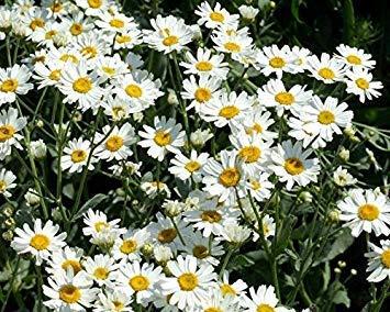 . semi di fiore: metrecaria piante da fiore semi di camomilla tribe giardino di fiori in balcone giardino [semi di giardino domestiche eco confezione] pianta semi