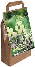Greenbrokers Limited Colour Collection Blumenzwiebeln, Frühlingsblumen, Weiß, 50Stück