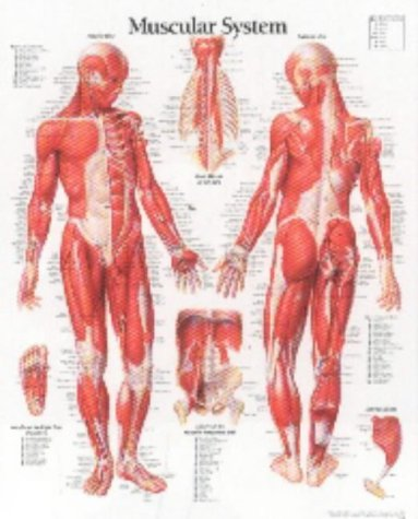 Muscular System with Male Figure Paper Poster por Scientific Publishing