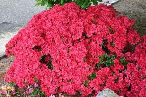 9cm-pot-azalea-mothers-day-muttertag-karume-hybrid-dwarf-vivid-red-garden-shrub