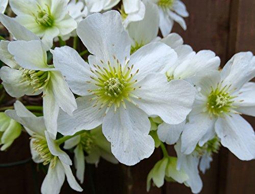 Clematis potaninii 15 Samen- Weiße Waldrebe