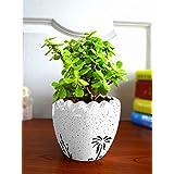 Rolling Nature Good Luck Live Jade Plant in White Ruffel Aroez Ceramic Pot