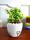 #8: Rolling Nature Good Luck Jade Plant In Yellow Ruffel Aroez Ceramic Pot