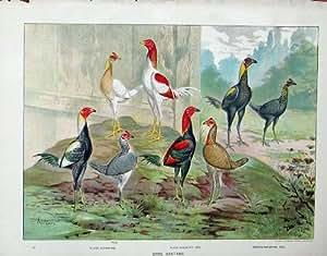 Poulets 1902 Argentés de Coqs Nains de Jeu de Duckwing de Volaille