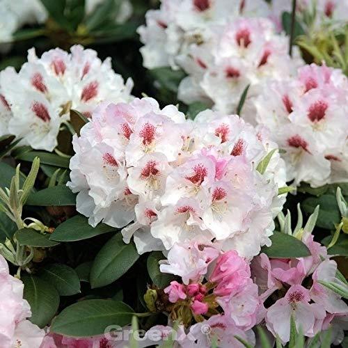 INKARHO - Rhododendron Apollonia 40-50cm - Rhododendron williamsianum